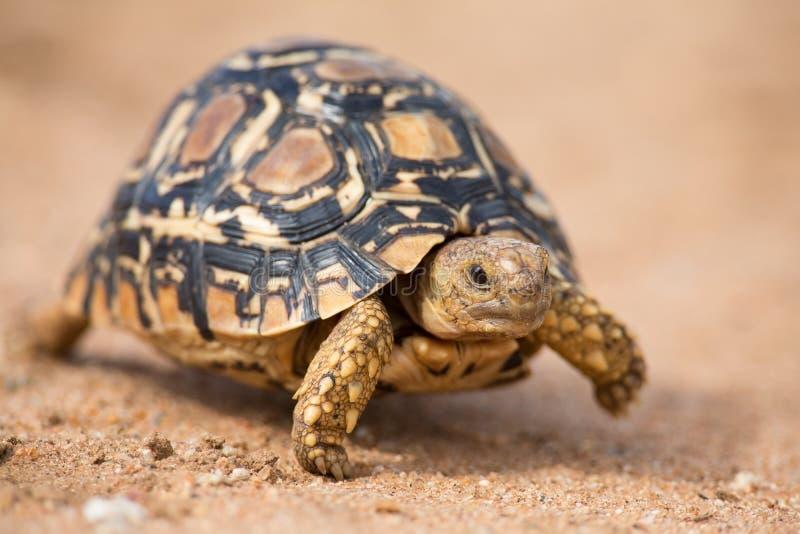 Lamparta tortoise chodzi wolno na piasku z ochronną skorupą fotografia royalty free