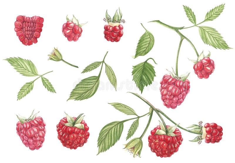 Lampone disegnato a mano della pittura dell'acquerello su fondo bianco Illustrazione botanica illustrazione di stock
