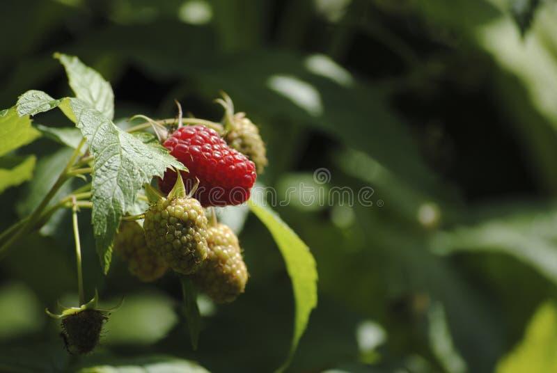 Lampone nel mio giardino fotografie stock