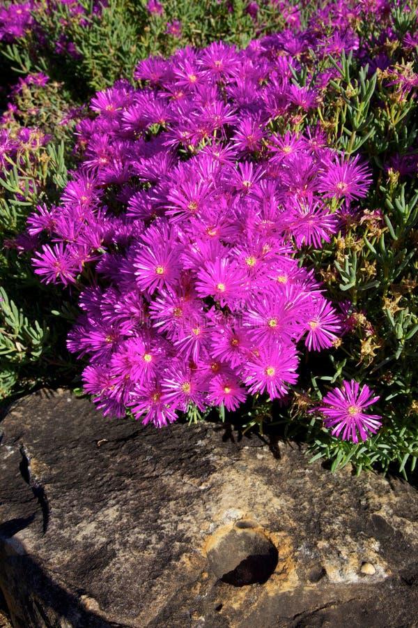 Lampranthus amoenus 库存照片