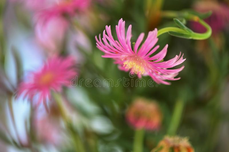 Lampranthus Zeyheri Iceplant flower. In garden stock photo