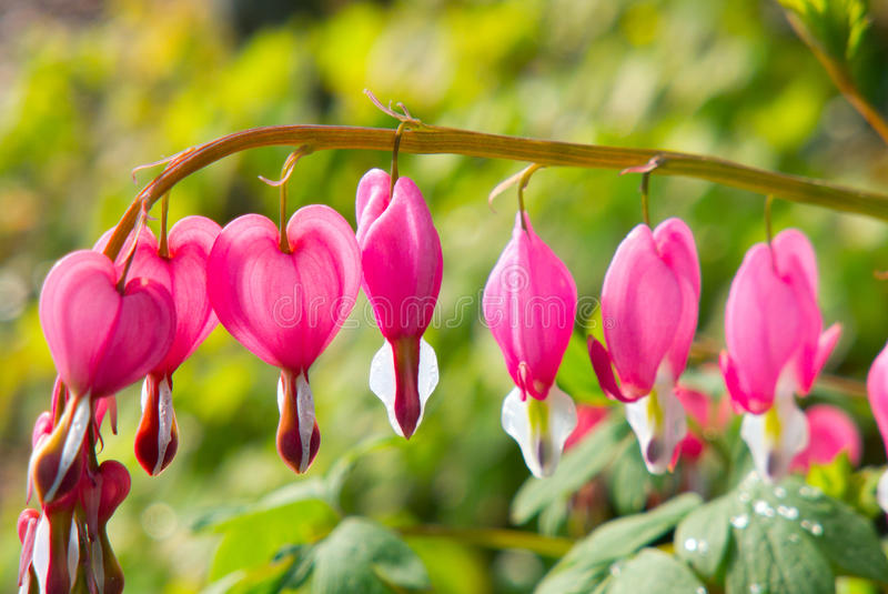 Lamprocapnos spectabilis. (Dicentra spectabilis) - Detail of Pink Heart Shaped Flower stock images