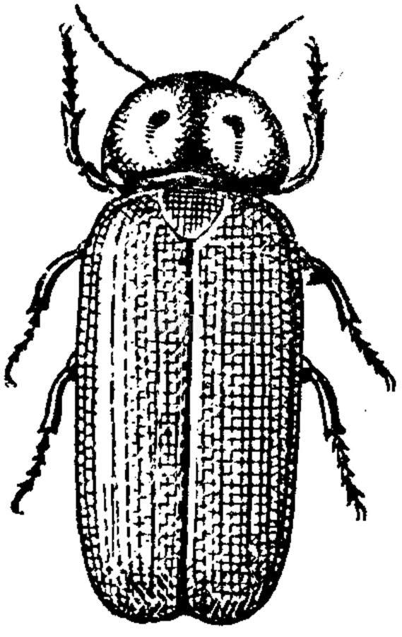 Lampyre-mâle Free Public Domain Cc0 Image