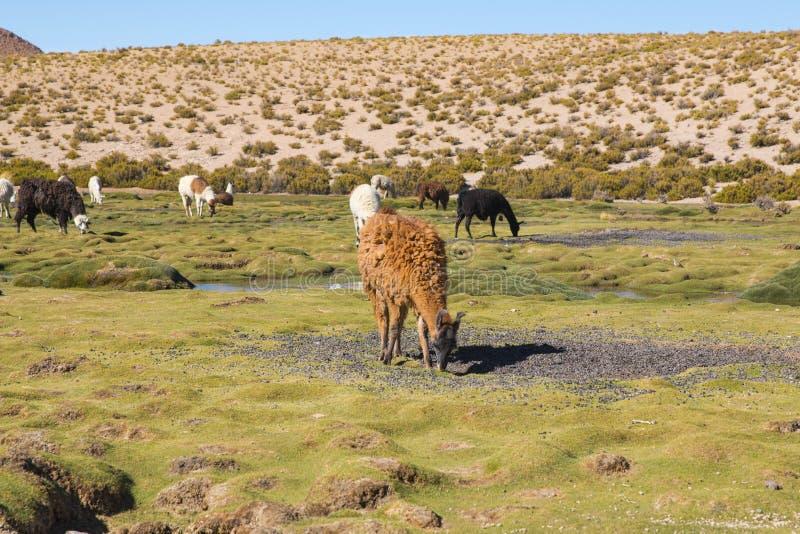Lamy & x28; Lama glama& x29; wcześnie rano przy dużą wysokością w Boliwia zdjęcie stock