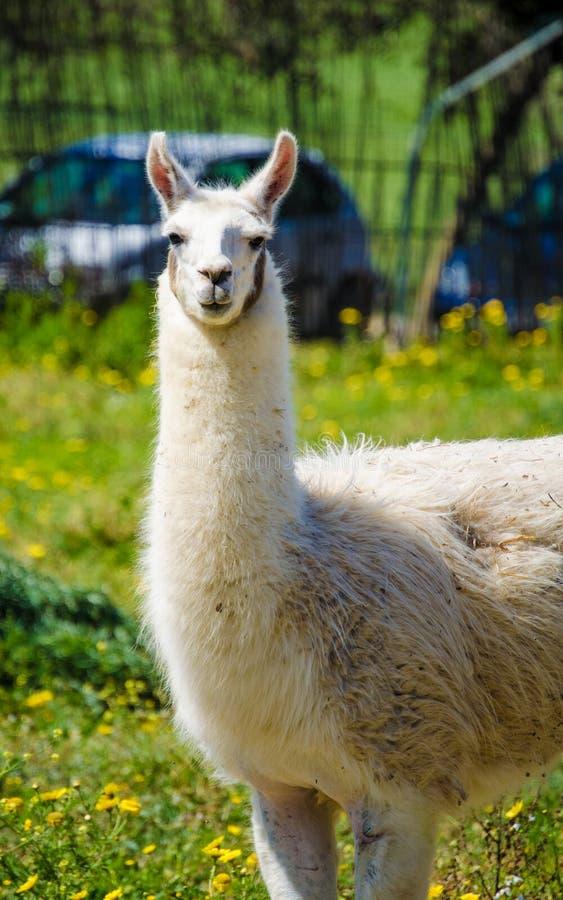 Lamy lama w zoo outdoors zdjęcia royalty free