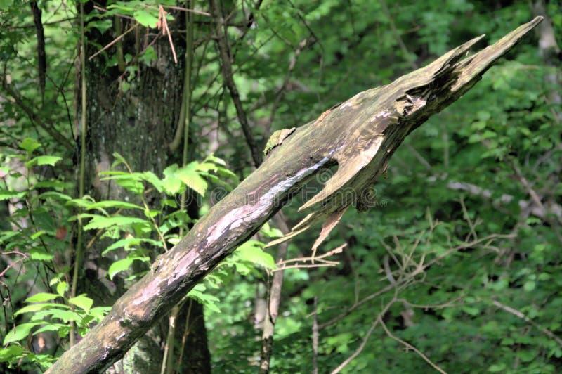 Lança natural na floresta verde foto de stock royalty free