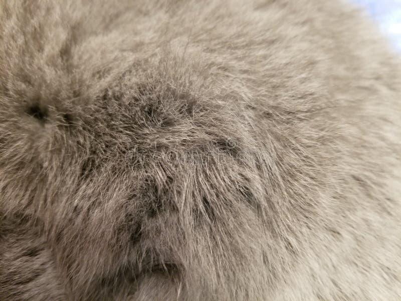 Lanas grises de un gato británico cierre de la fotografía de la piel del gato encima del fondo foto de archivo