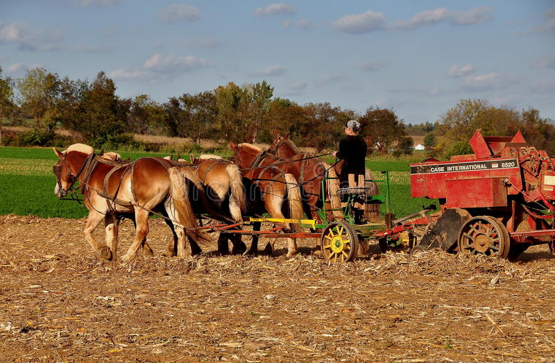 Lancaster County, PA: Amish Woman With Team of Horses. Lancaster, Pennsylvania: Amish woman driving a team of six horses working in a field on the family farm stock image