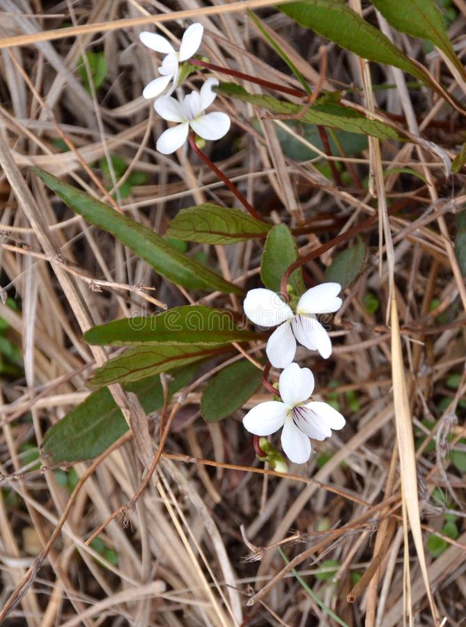 Lance Leaf Violet. White spring blossoms of the lance-leaf violet also called bog white violet, Viola lanceolata, native American wildflower growing in the pine royalty free stock photo