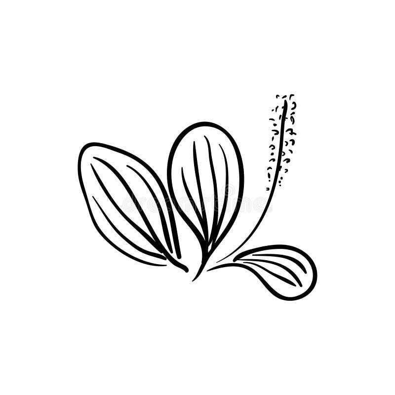 Lanceolata de floraison de Plantago de plantain de Ribwort, plantain de narrowleaf, herbe de ribleaf d'isolement sur un fond blan illustration stock