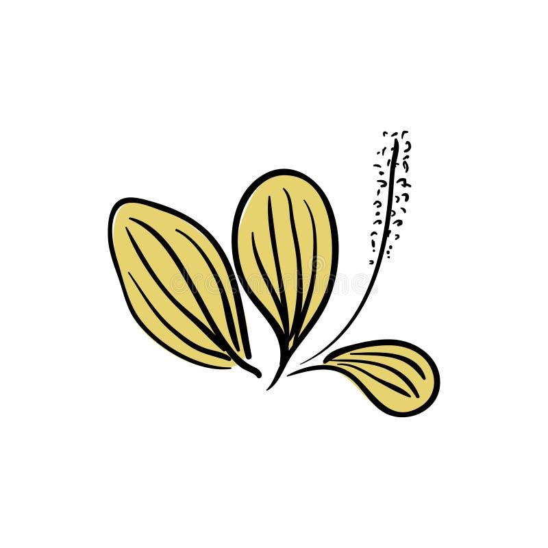 Lanceolata de floraison de Plantago de plantain de Ribwort, plantain de narrowleaf, herbe de ribleaf d'isolement sur un fond blan photos libres de droits