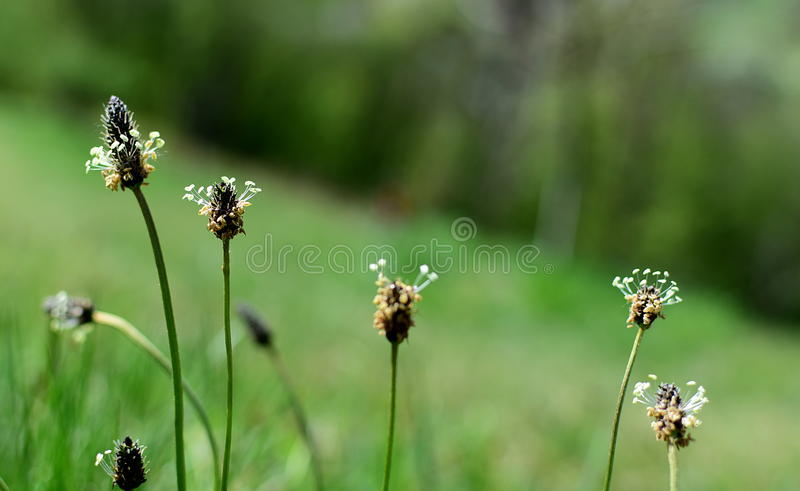 Download Lanceolata Plantago английского подорожника Стоковое Изображение - изображение: 90221425