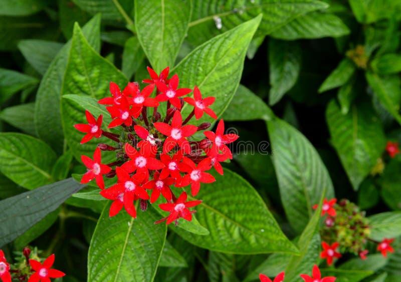 Lanceolata rosso di pentas con le foglie verdi fotografia stock libera da diritti