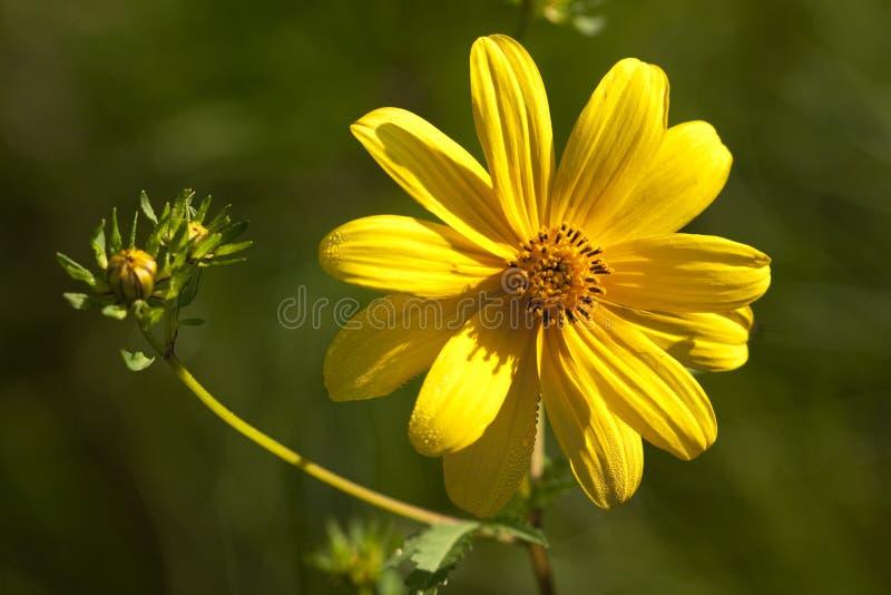 Lanceolata Wildflowers van Lanceleafcoreopsis royalty-vrije stock fotografie