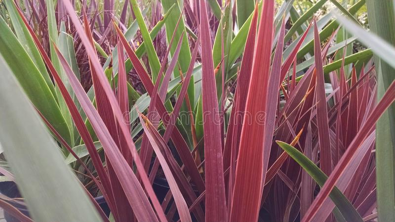 Lanceolate leaves stock images