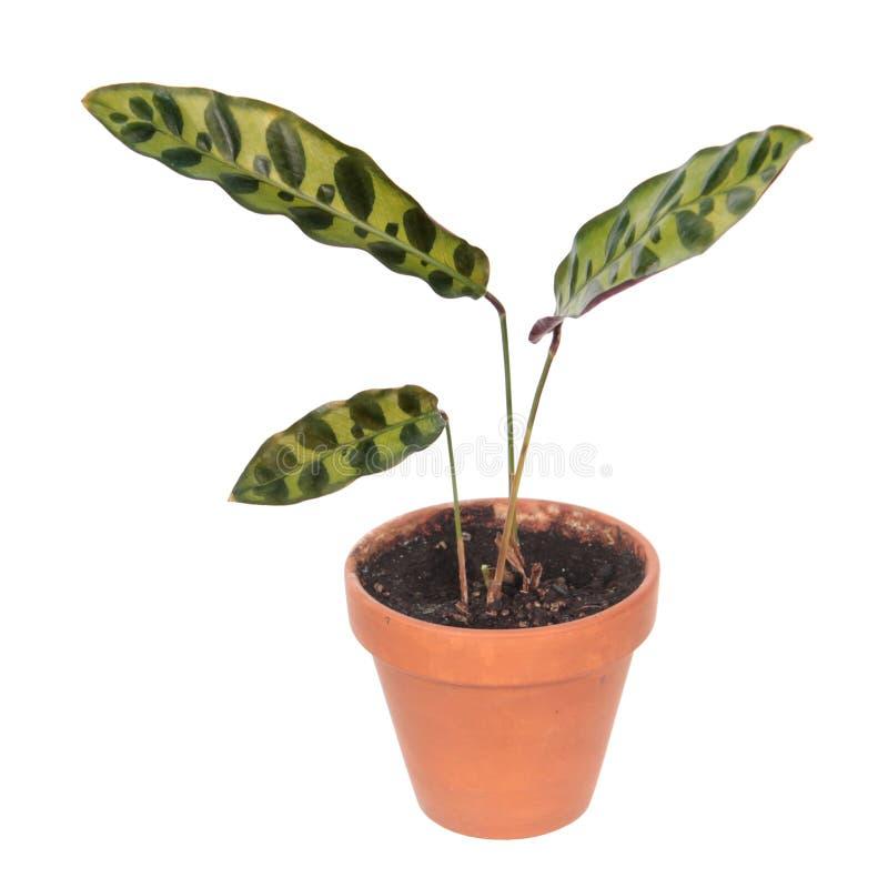 Lancifolia de Calathea ou usine de serpent à sonnettes dans le pot de fleurs d'isolement sur le fond blanc photo stock