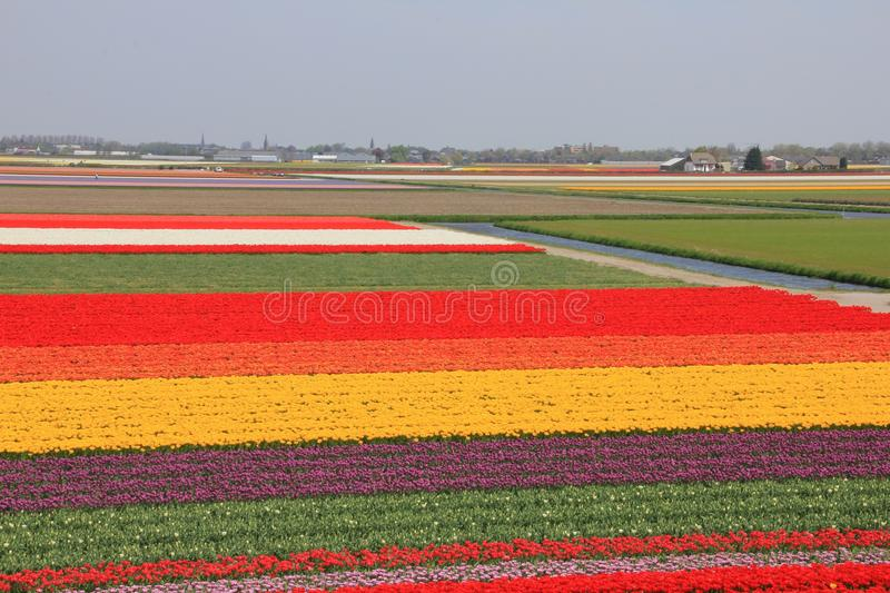 Land with blooming tulips in spring. stock image