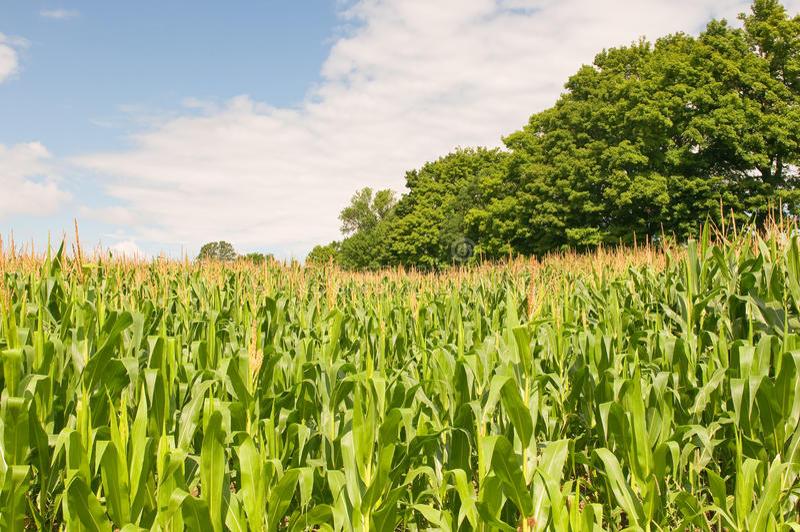 Land-Getreidefeld stockbild