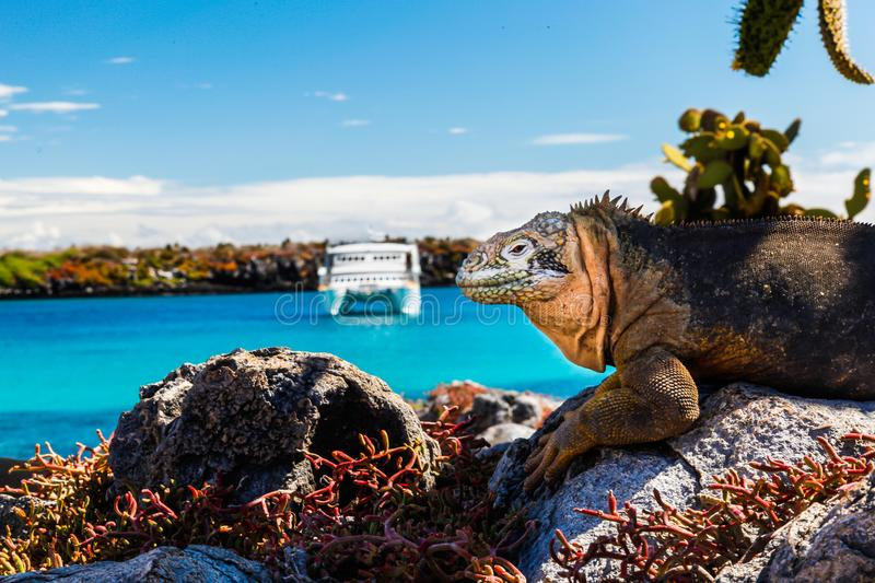 Land iguana with a white boat in the background, South Plaza Isl royalty free stock photography