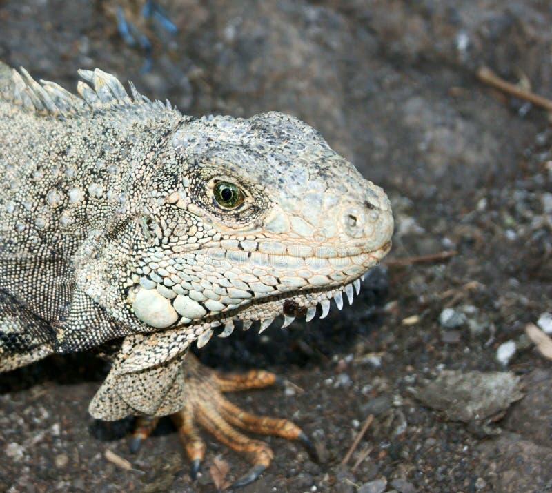 Land-Leguan in Ecuador stockfotos