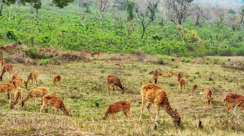Land of masses. Herd of deer just chewing away royalty free stock photos
