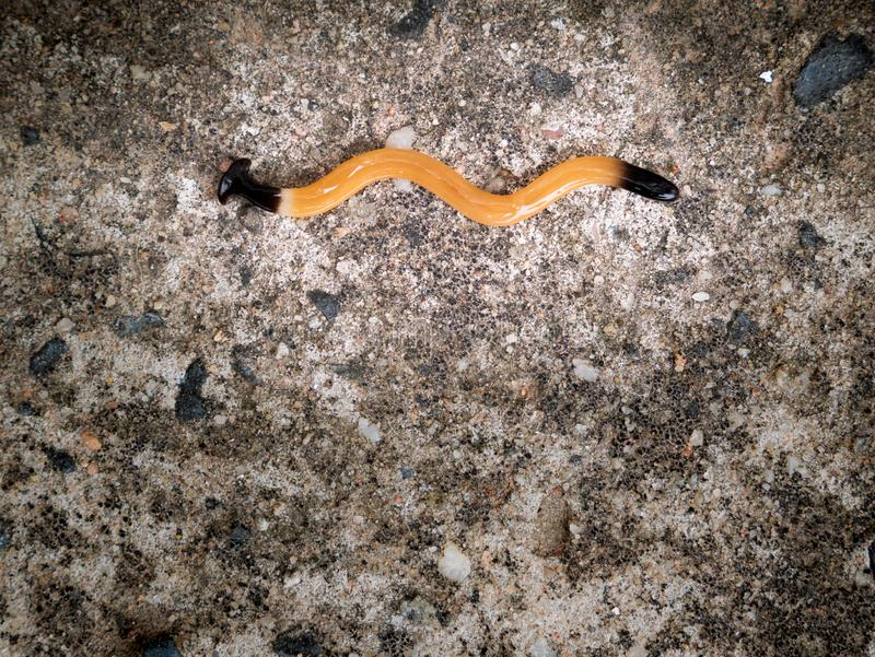 Land Planaria Crawl Zig Zag. The Land Planaria Crawl Zig Zag on The Cement Floor stock images