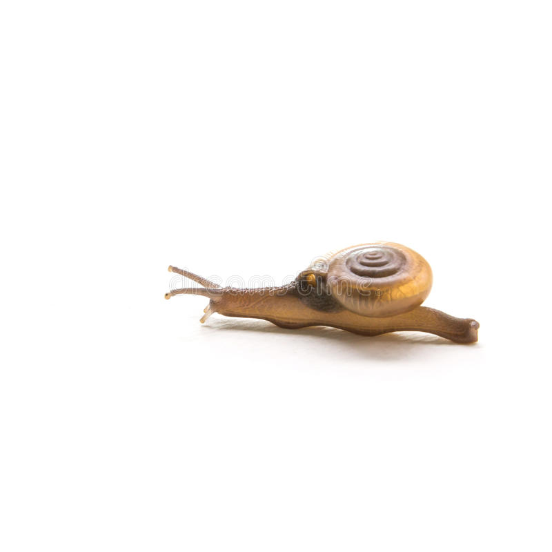 Land Snail, Sarika snail pest of orchid, in front of white background. Sarika snail pest of orchid. More common in Thailand stock image