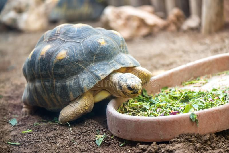 Land turtle eating fresh vegetables. From a bowl