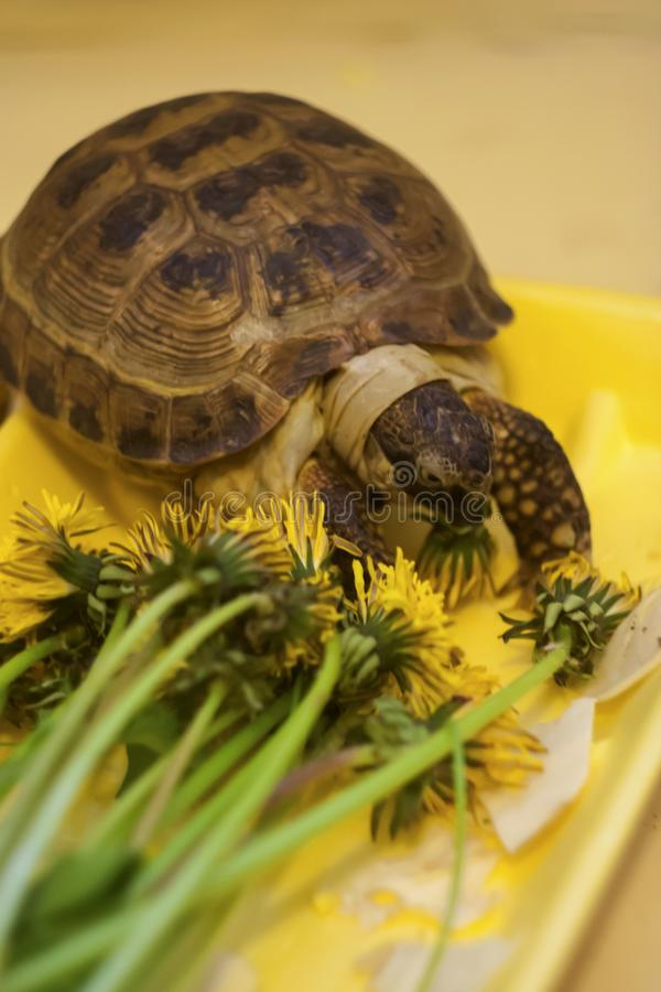 The land turtle eats yellow flowers stock images