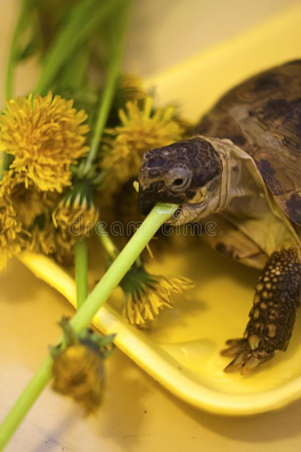 The land turtle eats yellow flowers royalty free stock image