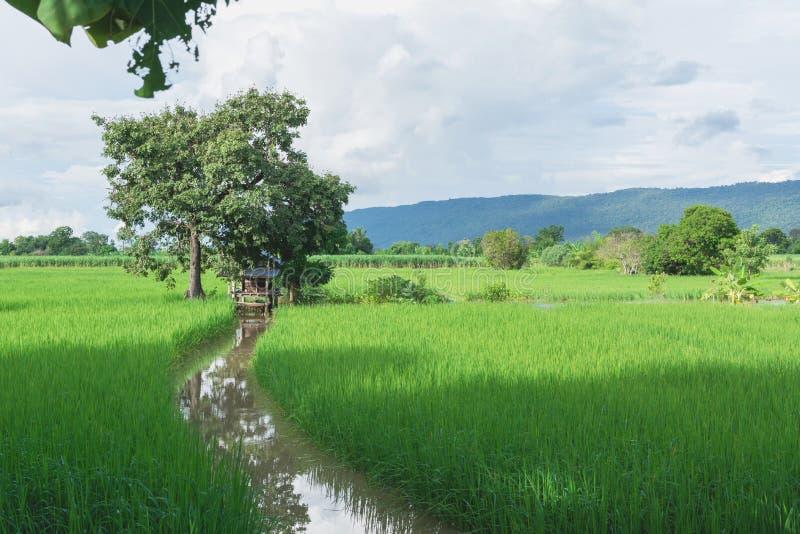 Landar grönt gräs för risfältet under den blåa himlen som är molnig med trädet arkivbild