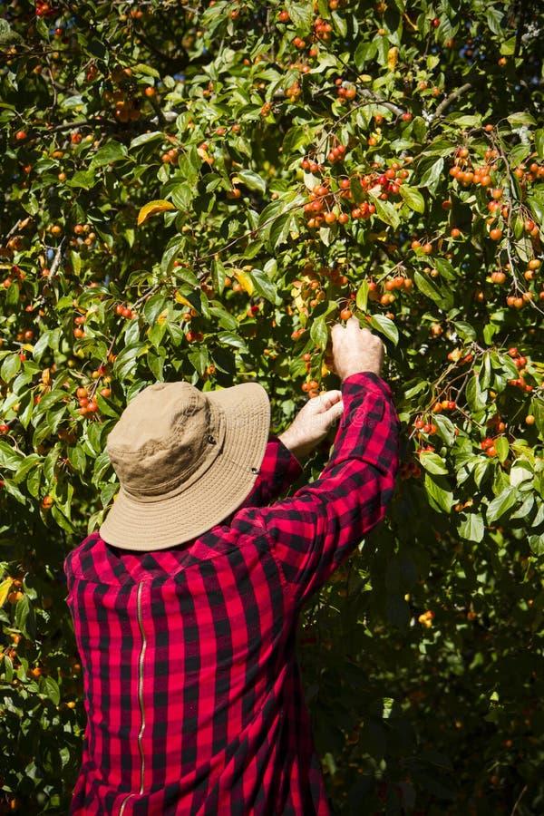 Landarbeiter-Landwirt-Man Picking Crabapple-Baum stockfotos