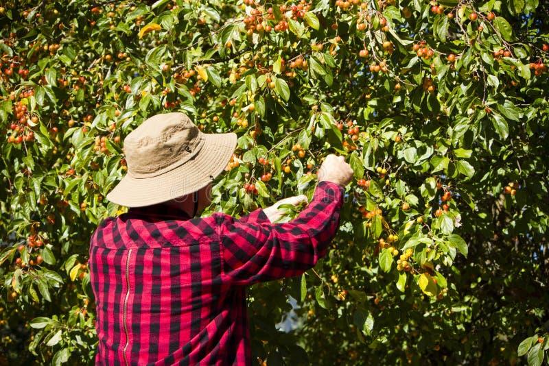 Landarbeiter-Landwirt-Man Picking Crabapple-Baum stockbilder