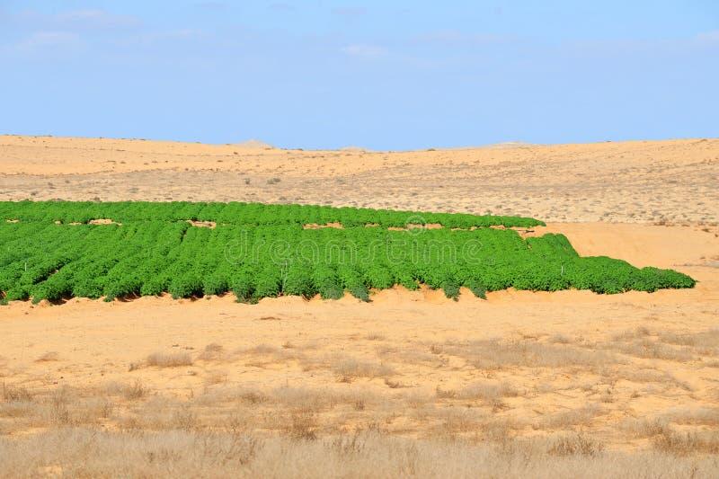 Landbouw die - in de Woestijn groeit stock foto's