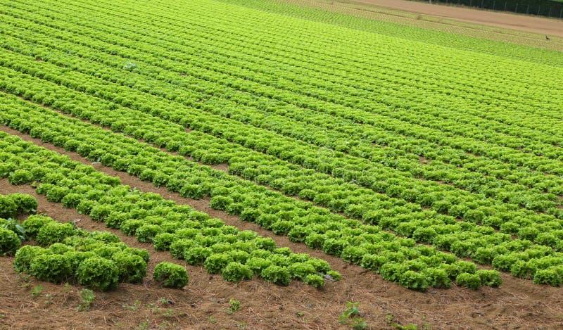 Landbouw: gebied van groene sla stock afbeelding