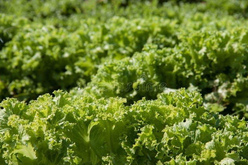 Landbouw: gebied van groene sla stock afbeeldingen