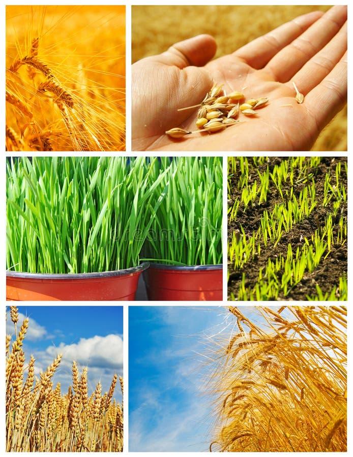 Landbouw, korrelproductie stock foto