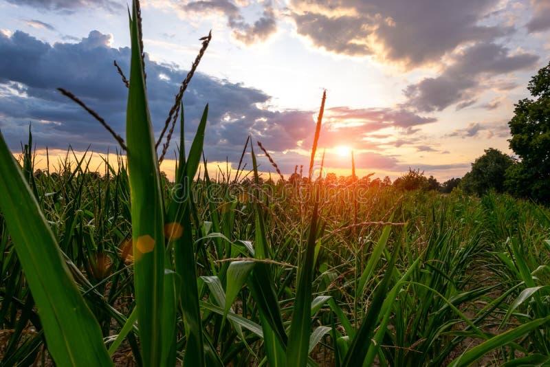 Landbouw, landbouwbedrijf van maïs, cornfield bij mooie hemel als achtergrond royalty-vrije stock foto's