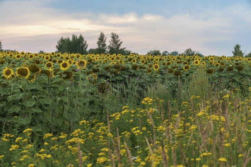 Landbouw Landbouwersgebied van bloeiende zonnebloemen tegen achtergrond van de zonsondergang Augustus, die na de regen gelijk mak royalty-vrije stock foto