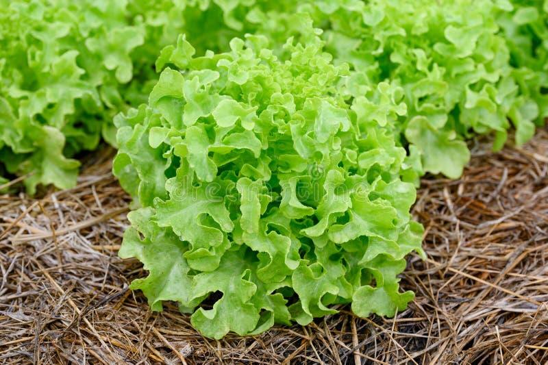 Landbouw organische groene eiken sla royalty-vrije stock foto