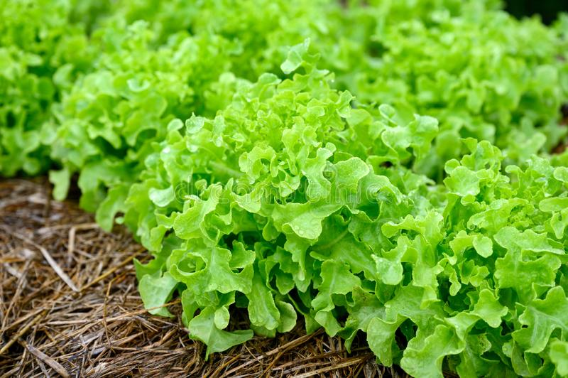 Landbouw organische groene eiken sla stock foto's