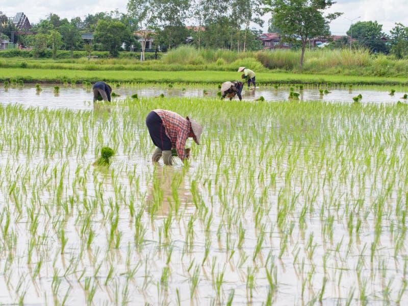 Landbouw in padievelden royalty-vrije stock afbeeldingen