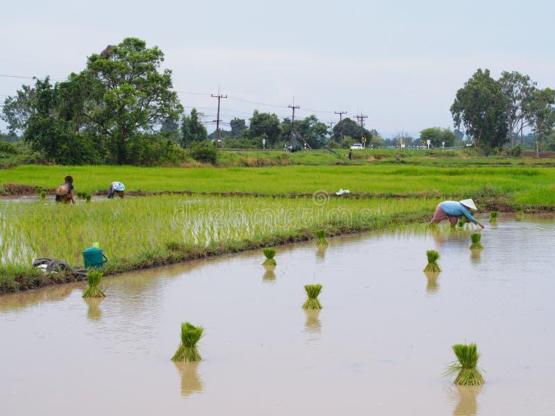 Landbouw in padievelden stock foto's