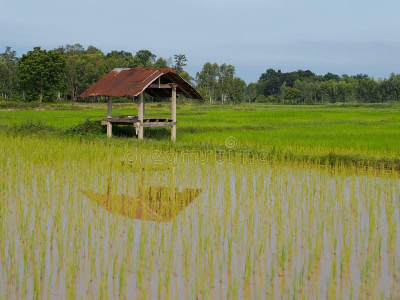 Landbouw in padievelden stock afbeeldingen