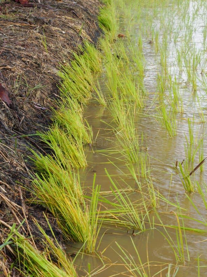 Landbouw in padievelden royalty-vrije stock fotografie