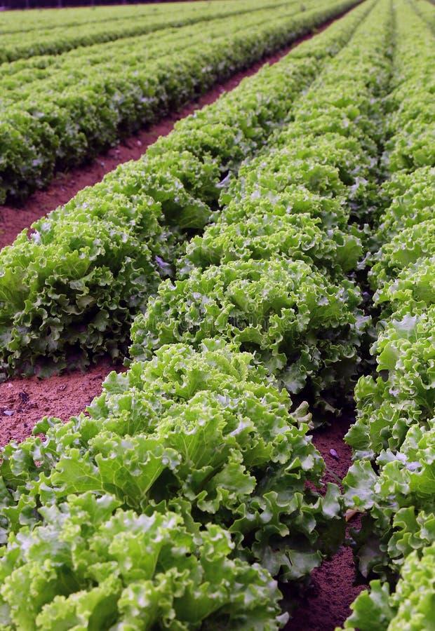 Landbouw: reusachtig gebied van groene sla stock afbeeldingen