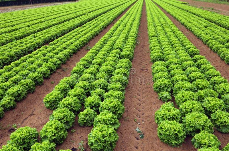 Landbouw: reusachtig gebied van groene sla stock foto's
