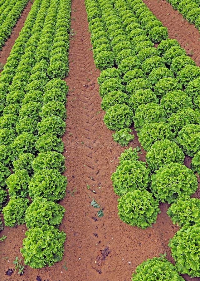 Landbouw reusachtig gebied van groene sla royalty-vrije stock foto