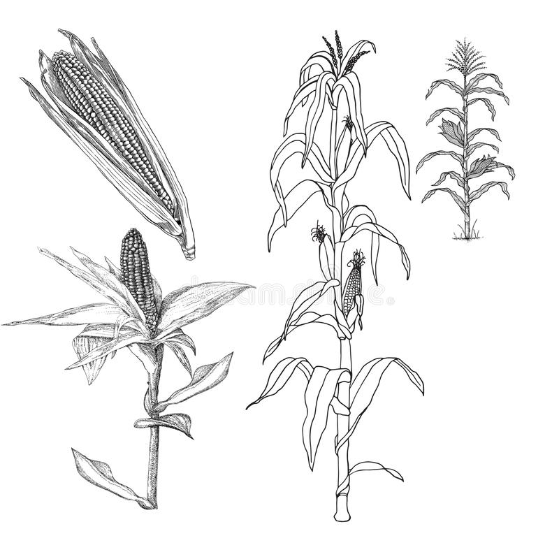 Landbouw - Rijpende leeswijzer van een medio installatie van de de groei suikermaïs vector illustratie