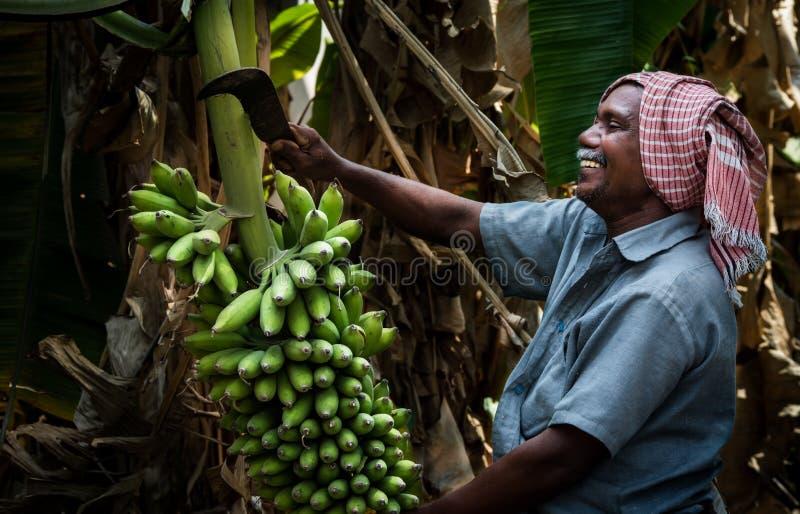 Landbouw van de banaanboom in Kerala stock afbeeldingen